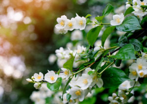 Jasmine-essential-oil-healing-for-children