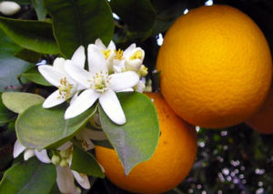 Neroli-essential-oil-healing-for-children